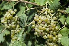 Конец-вверх пука белых виноградин День виноградников солнечный с белыми зрелыми группами виноградин Озеро Garda Итали Стоковые Фотографии RF