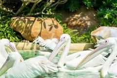 Конец-вверх пука больших птиц белого пеликана в пруде Стоковые Фото