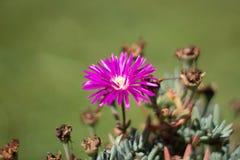 Конец-вверх пурпурного цветка стоковое фото