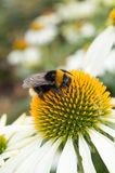 Конец вверх путает пчела собирая цветень на 'белом лебеде' Flowe Стоковая Фотография