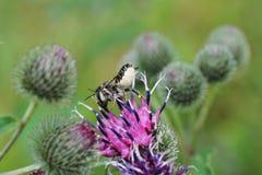 Конец-вверх пушистого и серого кавказского Megachile r leafworm пчелы Стоковая Фотография