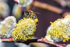 Конец-вверх пчелы собирает нектар на catkin вербы Стоковые Изображения
