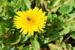 Конец-вверх пчелы на желтом цветке Стоковая Фотография RF