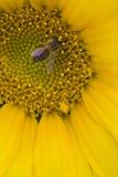 Конец-вверх пчелы на солнцецвете Стоковые Изображения RF