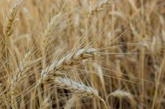 Конец-вверх пшеницы Стоковое Фото
