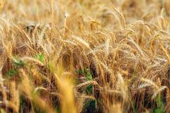 Конец-вверх пшеничного поля В лете, в ярком солнечном свете красивый ландшафт природы Концепция богатого сбора Стоковые Изображения