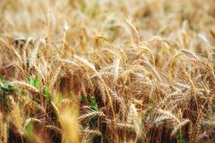 Конец-вверх пшеничного поля В лете, в ярком солнечном свете красивый ландшафт природы Концепция богатого сбора Стоковые Изображения RF
