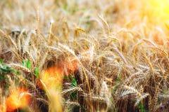 Конец-вверх пшеничного поля Лето в яркой слепимости солнечного света красивый ландшафт природы Концепция богатого сбора Стоковое фото RF