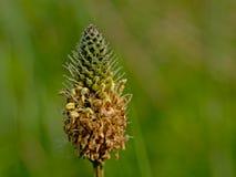 Конец-вверх пышного зеленого цветка подорожника ribwort - lanceolata Plantago Стоковая Фотография RF