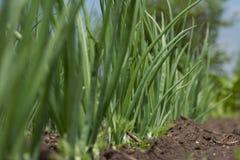 Конец-вверх плантации лука после мочить Стоковое Фото