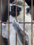 Плененная обезьяна Стоковое Изображение RF