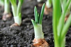 Конец-вверх растущей плантации зеленого лука стоковое фото