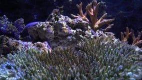 Конец-вверх рифа коралла подводный Разные виды коралла под лучами света на морском дне видеоматериал