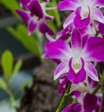 Конец-вверх розового фаленопсиса орхидеи Букет орхидей цветков Стоковые Изображения RF