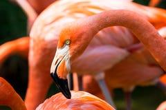 Конец-вверх розового фламинго Стоковая Фотография