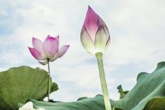 Конец-вверх розового цветка лотоса, Китая Стоковая Фотография RF