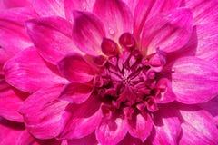 Конец-вверх розовых лепестков георгина Стоковые Фотографии RF
