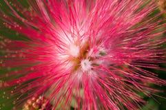 Конец-вверх розовых цветков и плодолистика в саде/макросе розового цветка и плодолистика в лесе Стоковые Фотографии RF