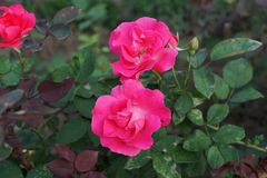 Конец-вверх розовых цветков кавказского ча-гибрида поднял стоковое фото