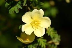 Конец-вверх розы желтого цвета, xanthina Розы Стоковое фото RF