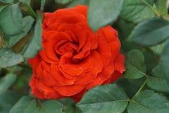 Конец-вверх розы красно-апельсина цветорасположения в листьях стоковая фотография