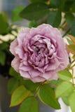 Конец-вверх розы пурпура детенышей зацветая кавказской стоковое изображение rf