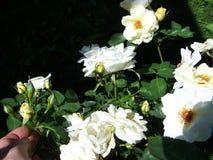 Конец-вверх роз драгоценности топаза и под рукой Стоковое Изображение RF