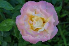 Конец-вверх роз цветка белых и розовых стоковые изображения