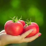 Конец-вверх руки ` s фермера держа 3 красных зрелых томата на предпосылке запачканных зеленых цветов Стоковая Фотография