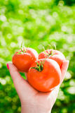 Конец-вверх руки ` s фермера держа 3 красных зрелых томата на предпосылке запачканных зеленых цветов Стоковые Изображения