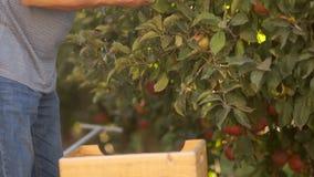 Конец-вверх Сбор яблок в деревянных коробках Нанятый лейборист в собрании яблок в ферме Рабочий-мигранты сток-видео