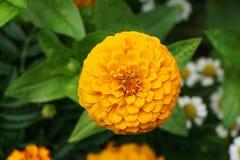 Конец-вверх свежего и молодого желтого цветка Zinnia в gro листьев стоковые изображения