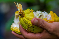 Конец вверх свежего плодоовощ какао в руках фермеров Органический плодоовощ какао - здоровая еда Отрезок сырцового какао внутри  Стоковая Фотография RF
