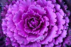 Конец-вверх свежей капусты в саде Стоковое Изображение