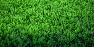 Конец-вверх свежей предпосылки зеленой травы естественной Стоковая Фотография RF