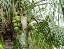 Конец-вверх, свежий кокос на Таиланде Стоковое Фото