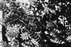 Конец вверх свежих листьев дерева загоренных солнечным светом, черно-белым стоковое фото rf