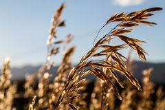 Конец-вверх семени травы пшеницы в Монтане с мягким солнцем Стоковое фото RF