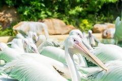 Конец-вверх серий больших птиц белого пеликана в пруде Стоковая Фотография