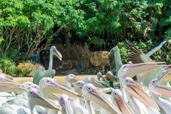 Конец-вверх серий больших птиц белого пеликана ждать еду Стоковое Изображение RF