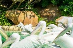 Конец-вверх серий больших птиц белого пеликана Стоковое Изображение RF