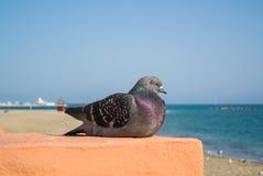 Конец-вверх серого голубя сидя на стене с морем и пляже на предпосылке Стоковое Фото
