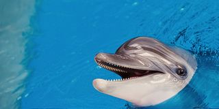 Конец-вверх серого дельфина Стоковое фото RF
