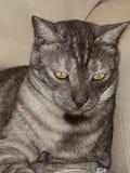 Конец-вверх серого кота черепахи стоковые изображения rf
