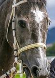 Конец-вверх серой лошади Стоковое фото RF