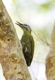Конец-вверх седовласого woodpecker Стоковое фото RF