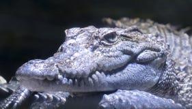 Конец вверх сиамского крокодила стоковые изображения rf