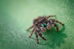 Конец-вверх скача паука стоковая фотография