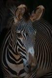 Конец-вверх смотреть зебры Grevy головной вне Стоковые Фотографии RF