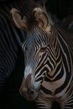 Конец-вверх смотреть зебры Grevy головной вниз Стоковая Фотография RF